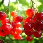 nutritie: coacaze rosii