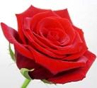 Trandafirul, ghicitoare