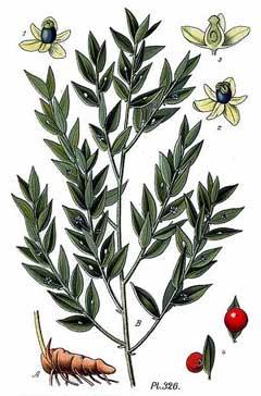 Ruscus Aculeatus - Planta medicinala