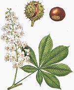 Hippocastanum - Planta medicinala