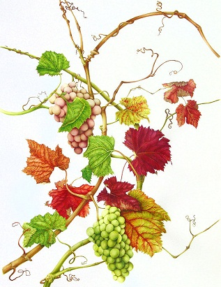 Vitis vinifera - Planta medicinala
