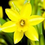 Legendele si superstitiile Narcisei Galbene